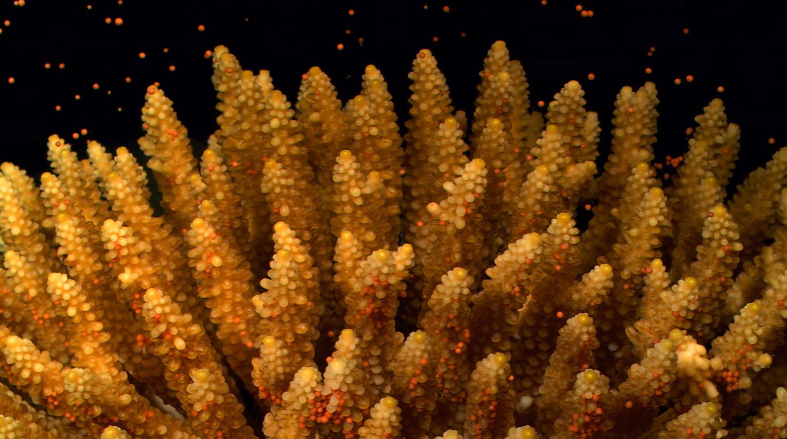 Corail avec petites boules rouges qui flottent autour