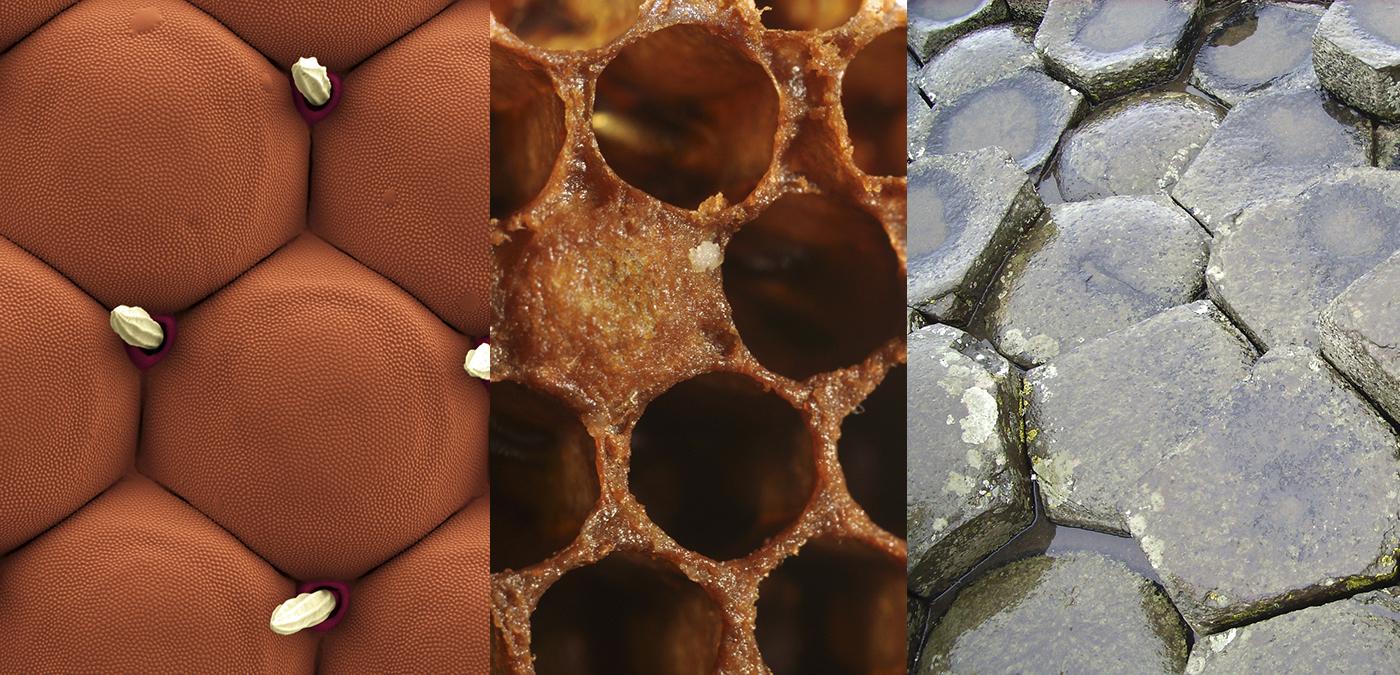 Exemples du caractère universel du réseau hexagonal dans la nature.