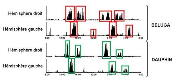 les périodes de sommeil (en rouge et en vert) alternent entre l'hémisphère droit et l'hémisphère gauche du cerveau. Adapté de Lyamin et al., 2008.