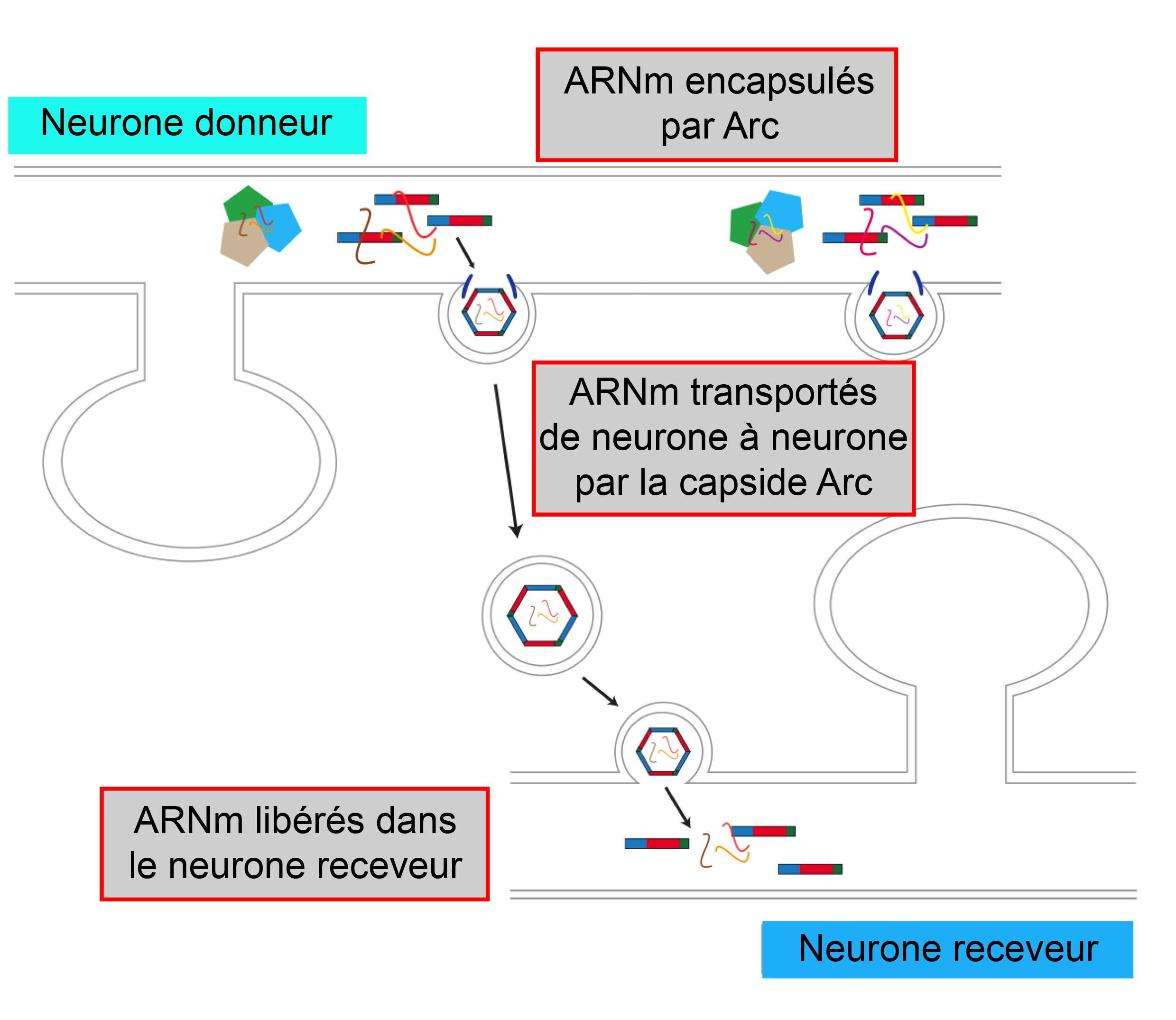 """1/ Dans le neurone donneur, les protéines Arc s'auto-assemblent et encapsulent l'ARN messager (ARNm) de Arc. 2. Les capsides produites sont libérées dans le milieu extracellulaire via des vésicules. 3. Les capsides """" infectent """" le neurone receveur."""