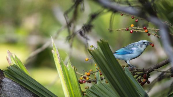 Petit oiseau bleu dans une forêt tropicale