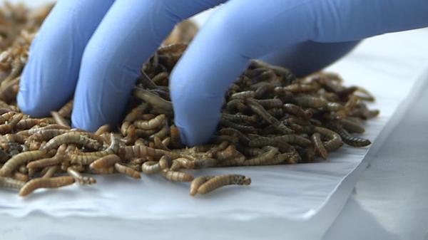 En laboratoire un tas de vers de farine est manipulé par une main gantée