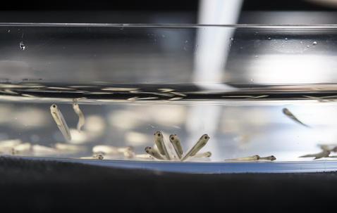 Larves millimétriques d'amphibiens