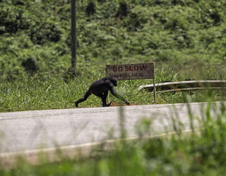 Chimpanzé traversant une route