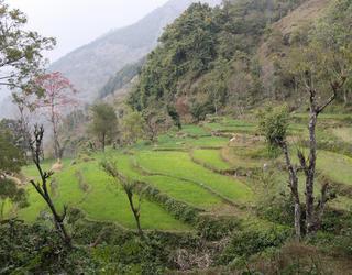 Cultures en terrasses à Aslewa, dans les basses montagnes de l'ouest du Népal