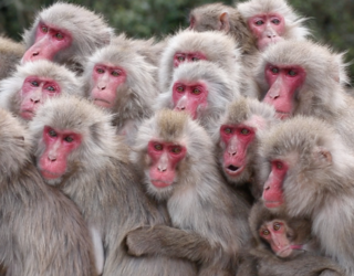 Groupe de macaques japonais