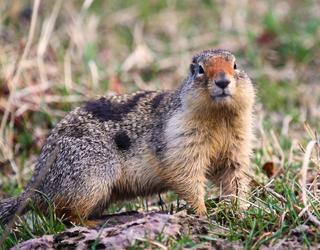 Ecureuil terrestre dans une prairie