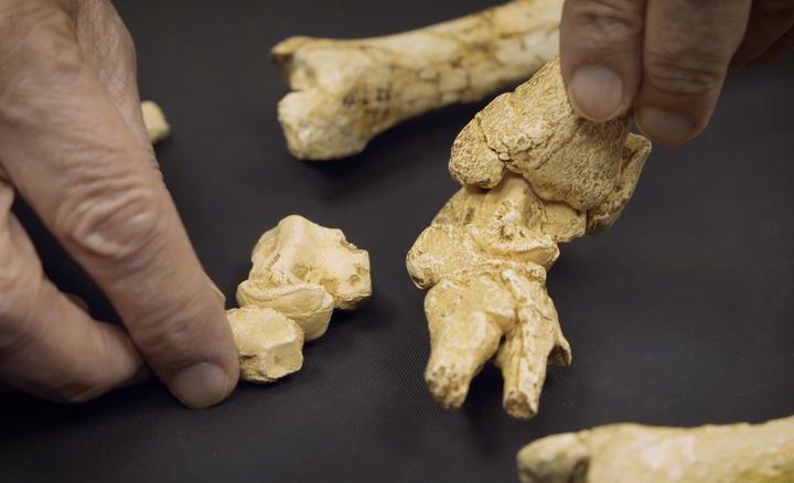 gros plan de mains qui tiennent des ossements d'Australopithèque