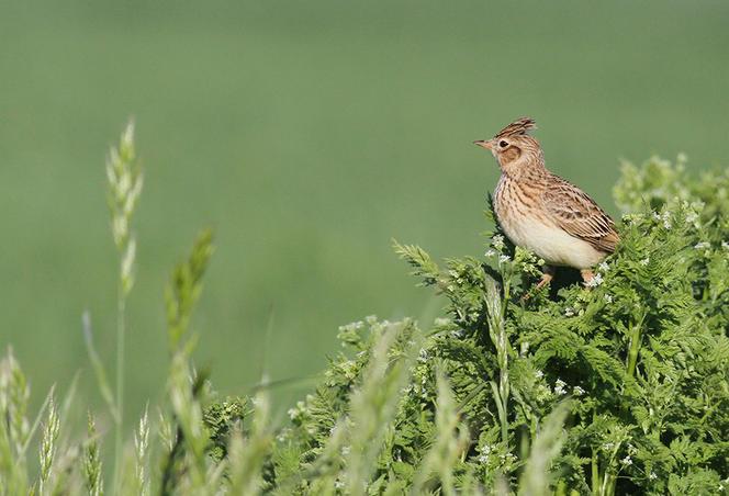 Où sont passés les oiseaux des champs ?