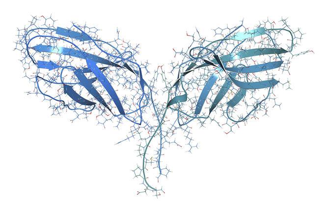 """Modélisation de la protéine """"checkpoint"""" CTLA-4"""