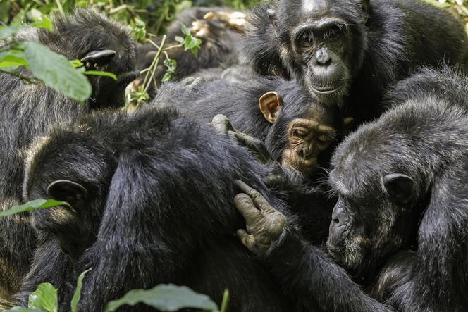 https://lejournal.cnrs.fr/articles/culture-et-communication-chez-les-singes
