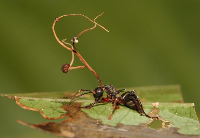 Fourmi parasitée par un champignon