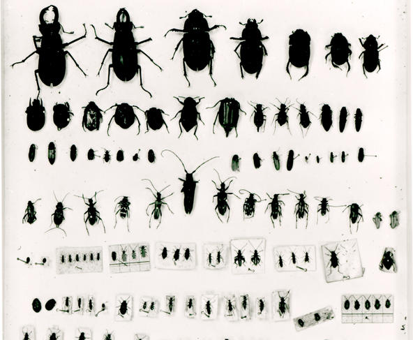 Collection d'insectes de Darwin