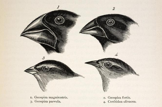 Pinsons de Darwin