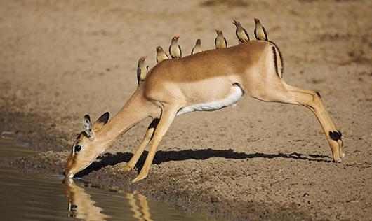 Impala et Piqueboeufs