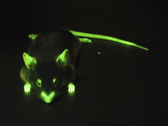Souris fluorescente génétiquement modifiée.
