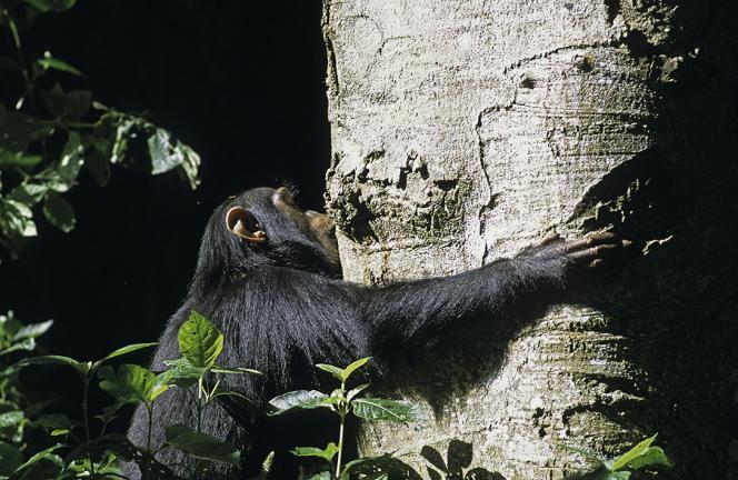 Automédication : chimpanzé mangeant de l'Albizia
