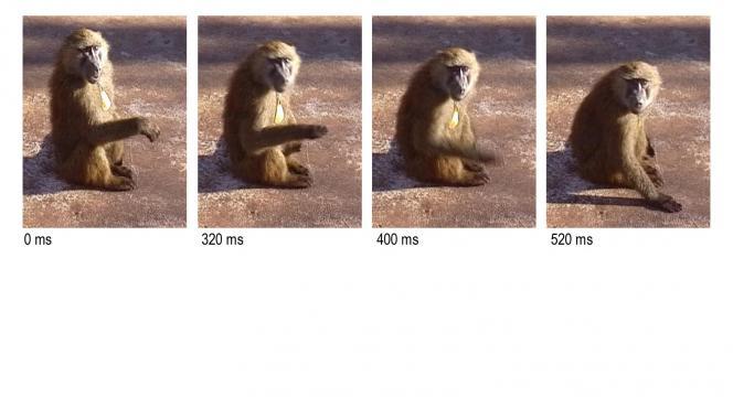 Geste décomposé de babouin.