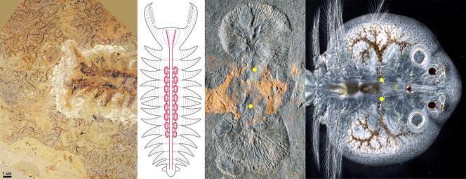 Arthropodes primitifs à corps mou du Cambrien inférieur