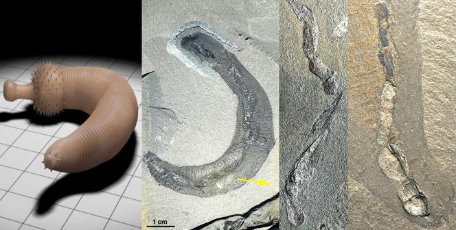 Ottoia, ver marin carnivore du Cambrien de la faune de Burgess.