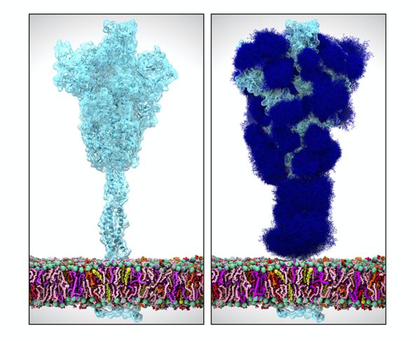 Visualisations de la protéine Spike du SARS-CoV-2