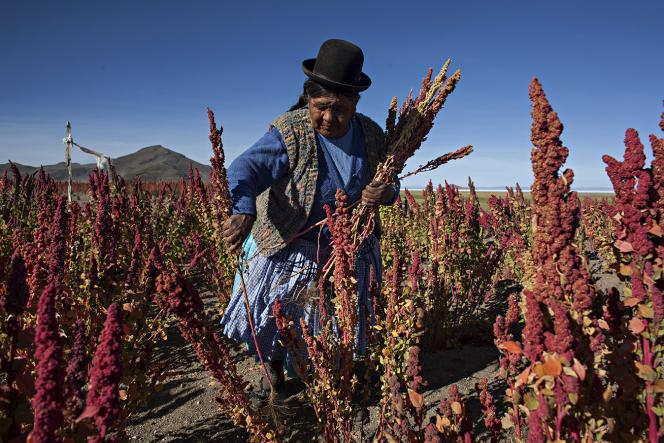 Culture de quinoa en Bolivie