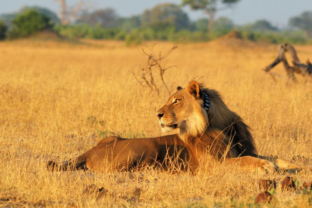 Lion dans le parc de Hwange