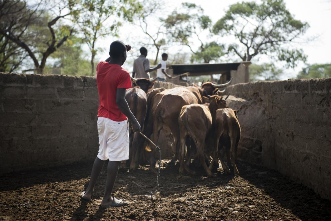 Un éleveur du village de Lupote et son bétail