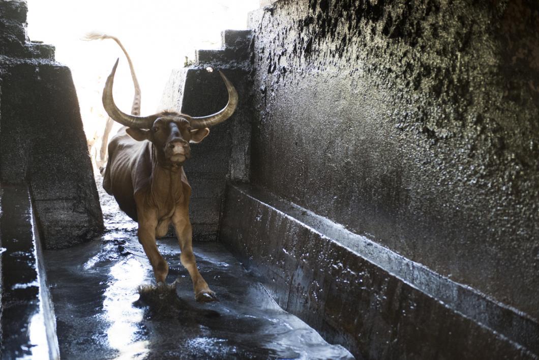 Vache plongeant dans un bain acaricide