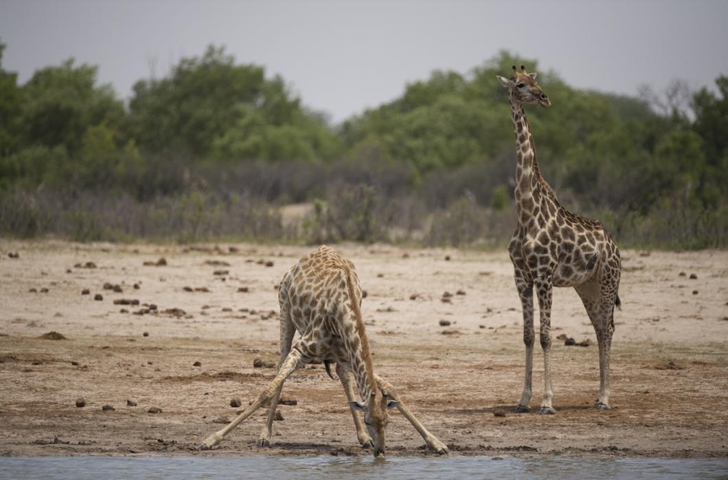Girafes dans le parc de Hwange