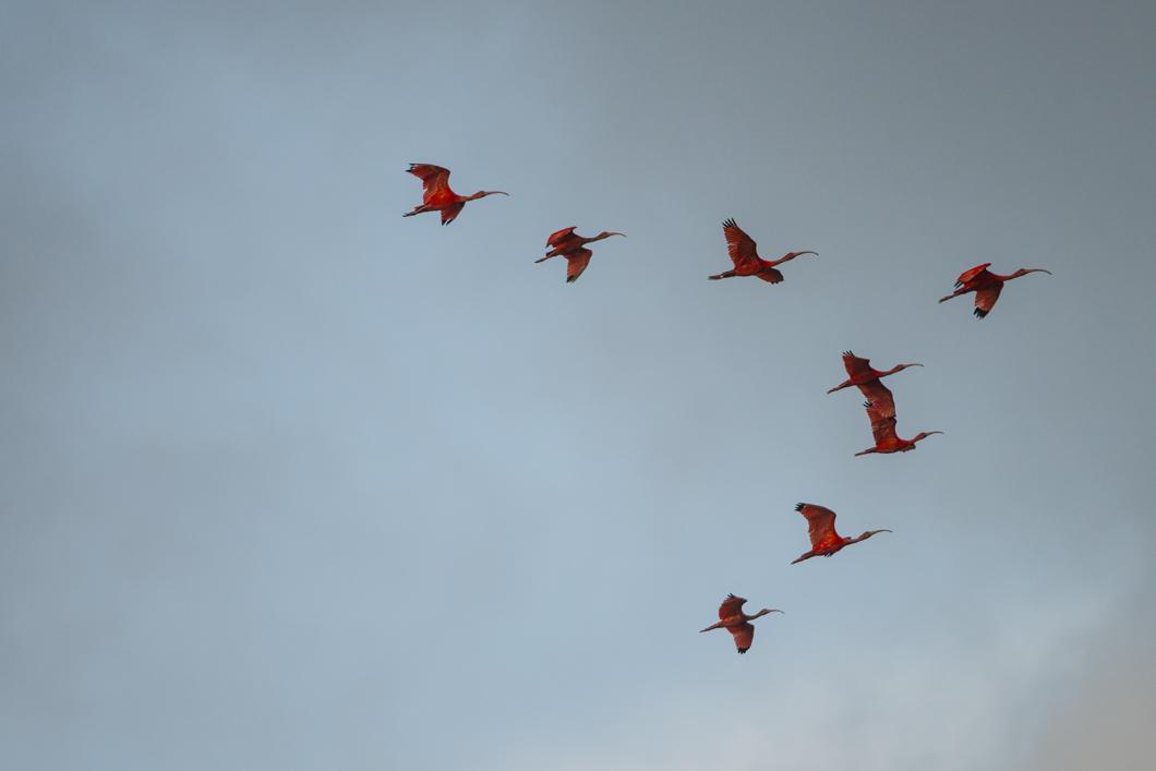 Ibis rouge, Eudocimus ruber