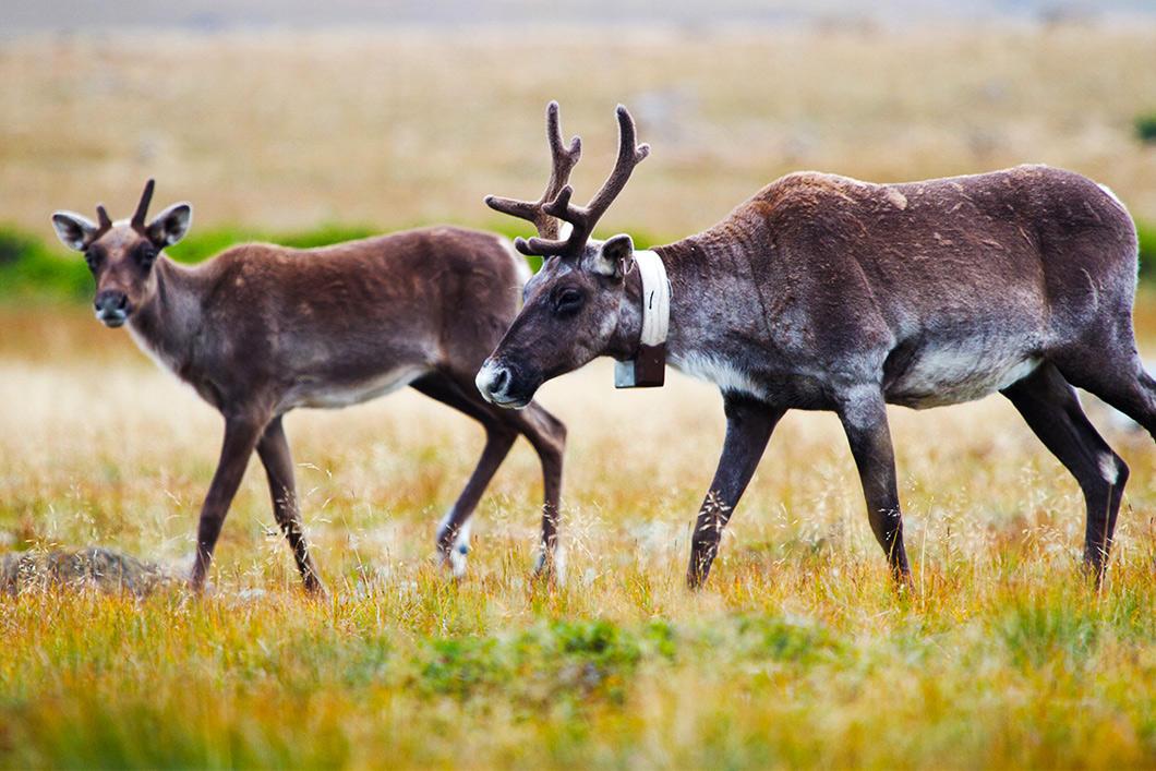 Caribous avec colliers télémétriques