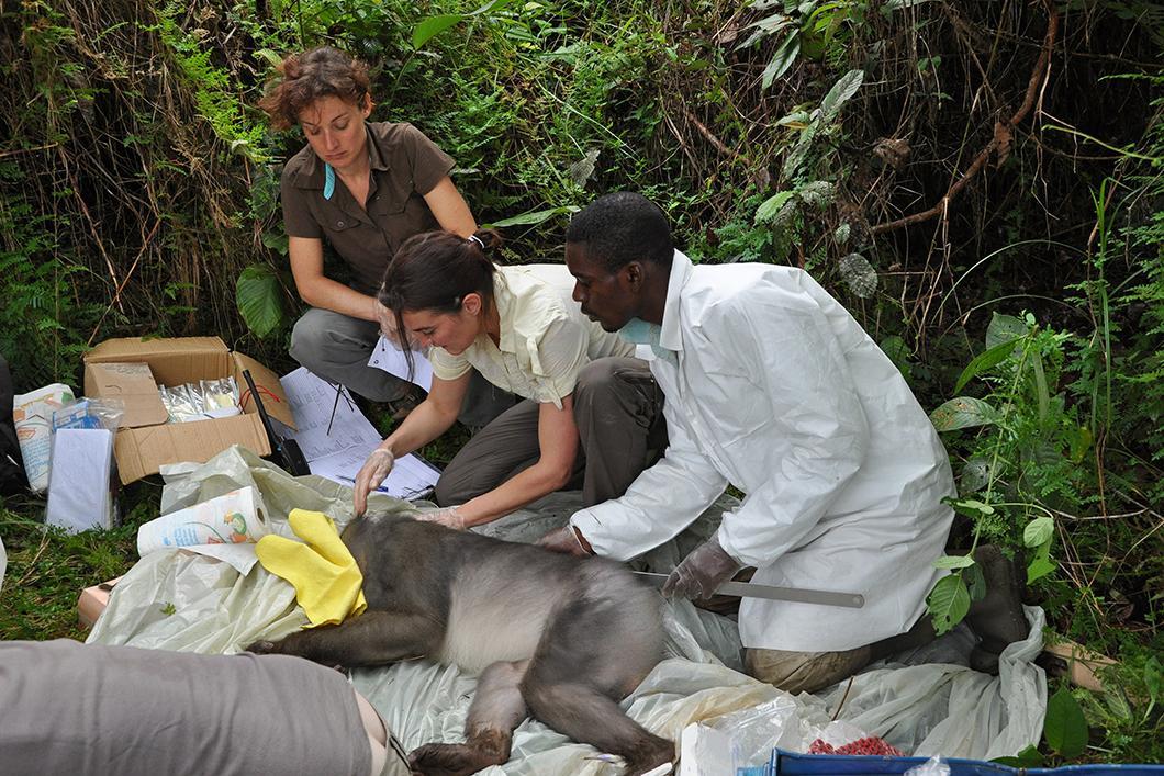 Chercheurs mesurant la taille d'un singe mandrill