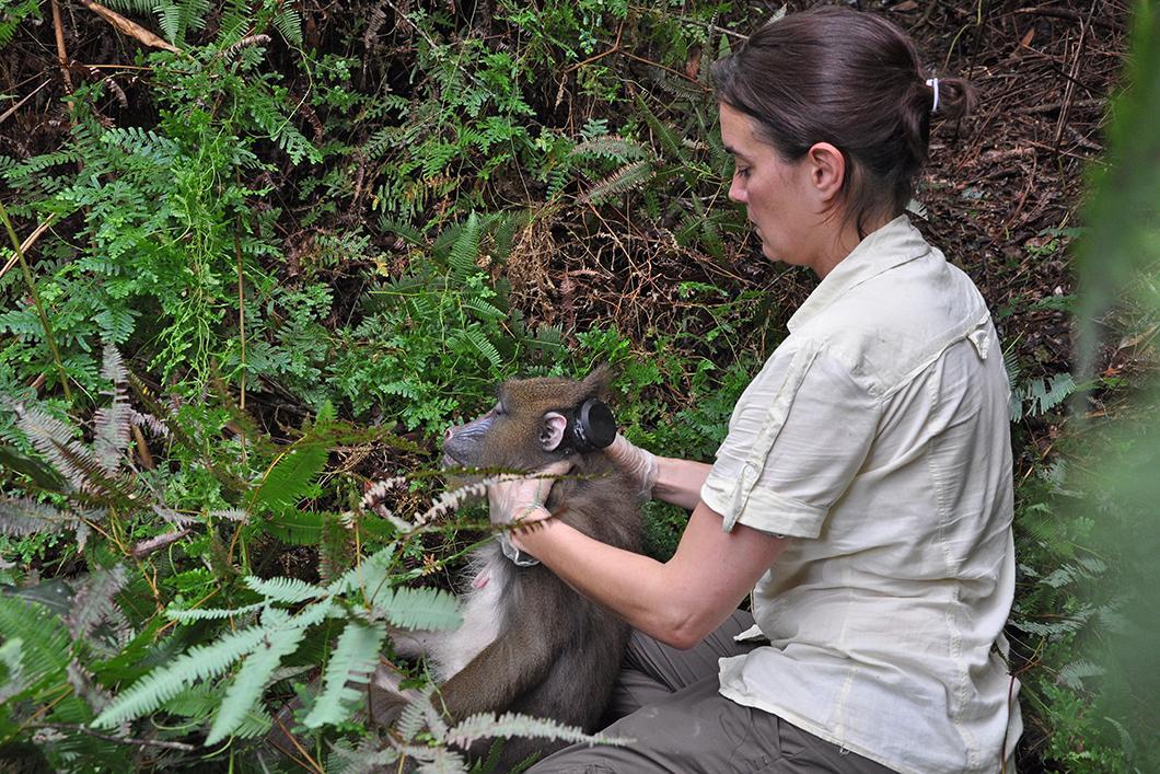 La chercheuse Marie Charpentier équipe un singe mandrill d'un collier RFID