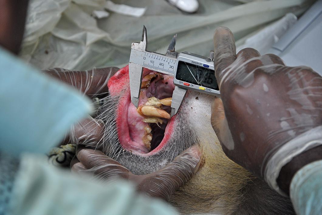 Mesure des canines d'un singe mandrill