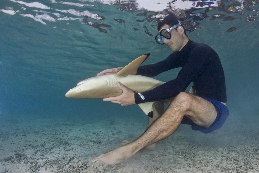 Requin à pointes noires maintenu dans un état d'immobilité tonique afin de l'examiner