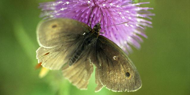 "Papillon Myrtil, ""Maniola jurtina"""