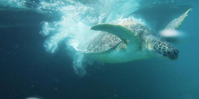 Tortue verte sous l'eau
