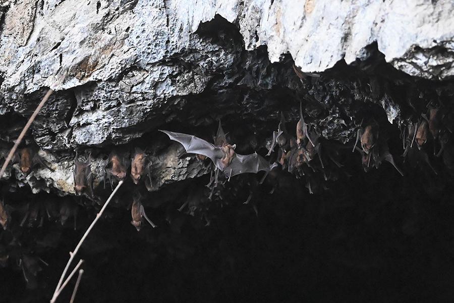 Groupe de chauves-souris dans une grotte de Birmanie.