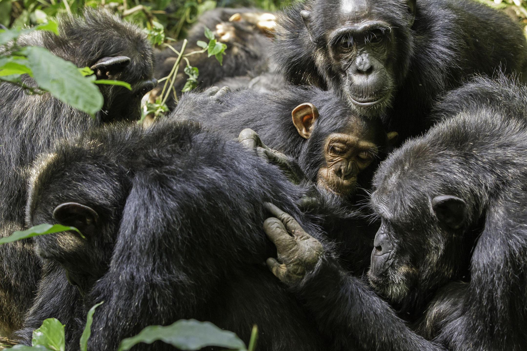 Chimpanzés en séances d'épouillage.