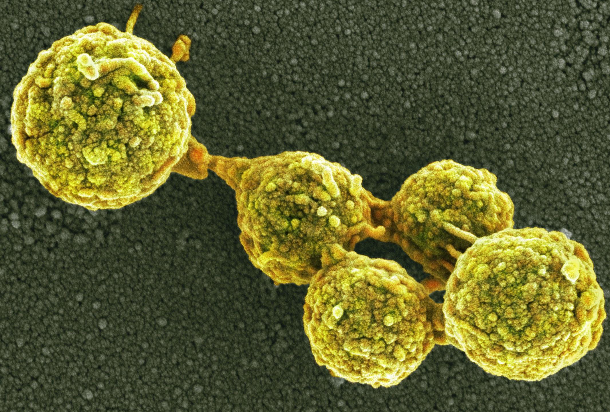 Mycoplasme synthétique