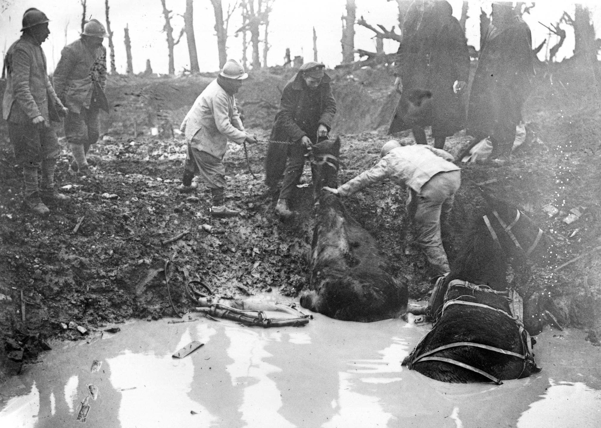 Chevaux enlisés durant la Première Guerre mondiale