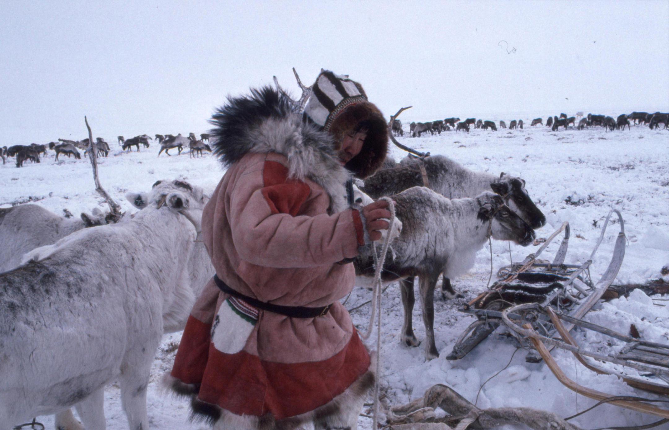 Eleveur de rennes dans le Grand nord sibérien