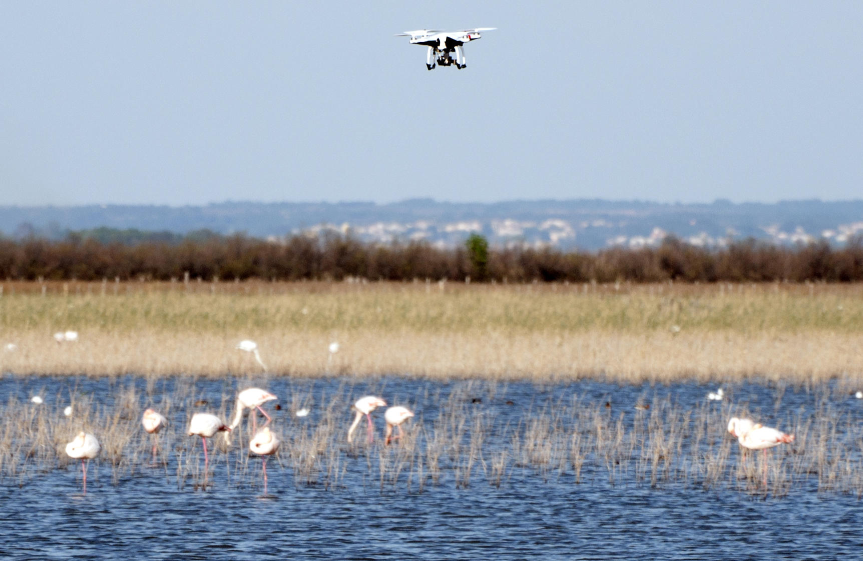 Un drone survole un groupe de flamands roses.