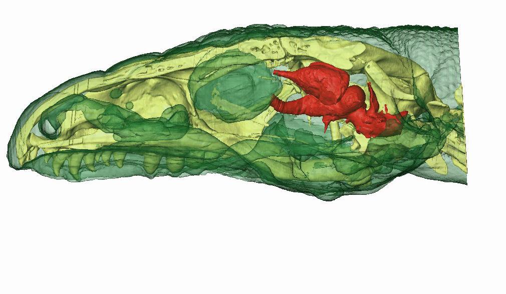 Reconstruction 3D du crâne d'un tégu argentin.