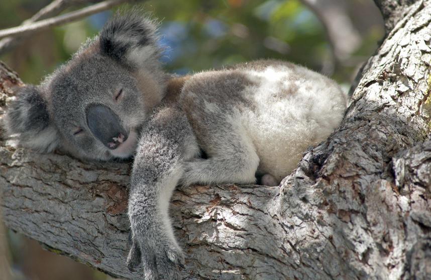 Koala endormi