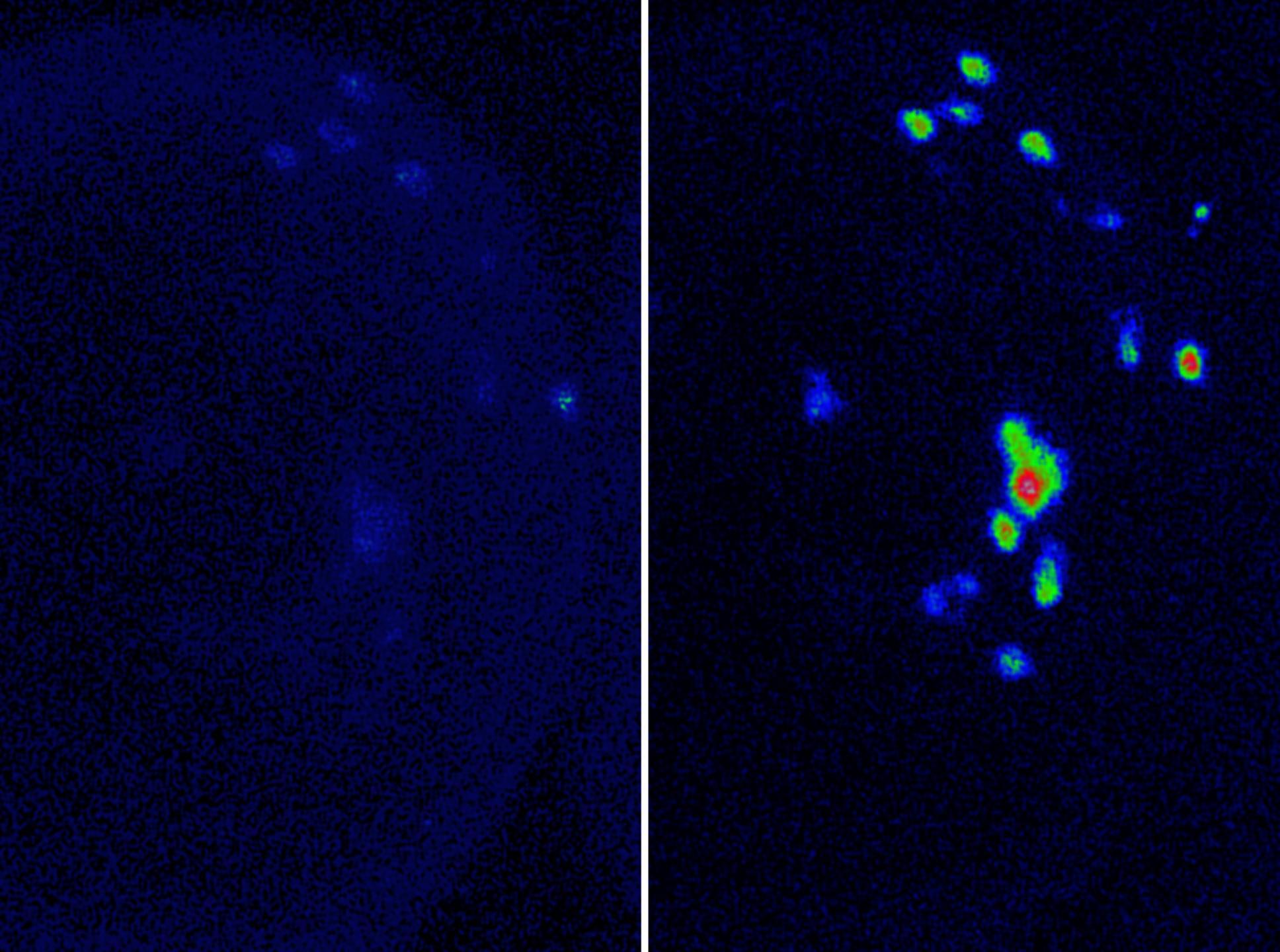 Activité neuronale chez la drosophile