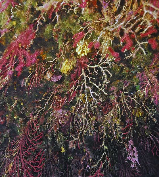 Gorgones rouges en mer Méditerranée