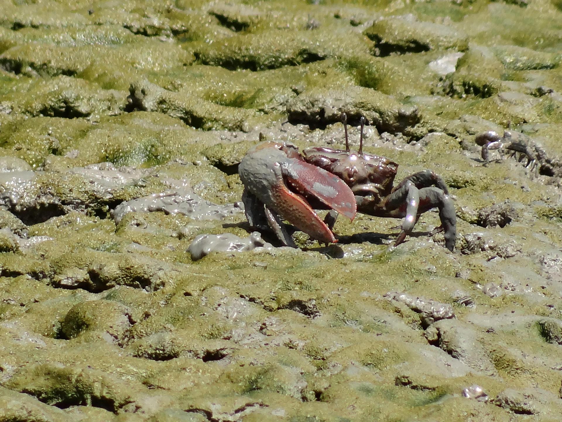 Crabe de mangrove