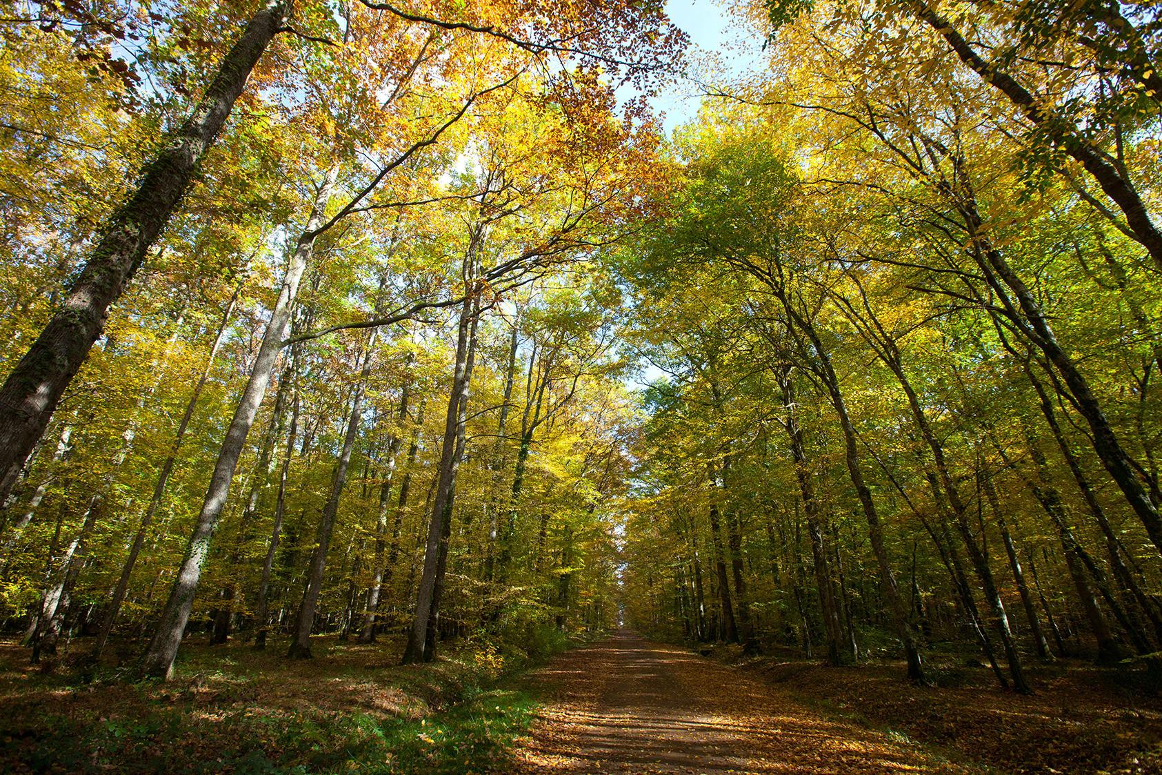 Forêt domaniale du Tronçais dans l'Allier